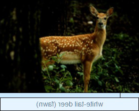Image of Image of white-tail deer (fawn)