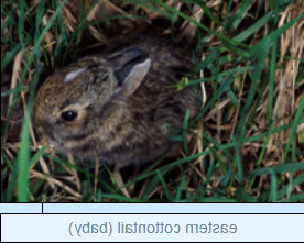 Image of eastern cottontail (baby)